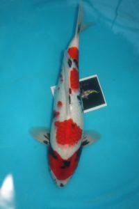 Carpe KOI SHOWA 46 cm