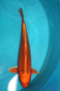 Carpe KIN MATSUBA 43 cm