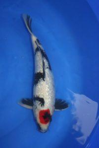 Carpe KOI TANCHO SHOWA GINRIN 37 cm