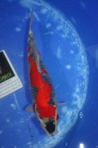 Carpe KOI GOSHIKI 35 cm