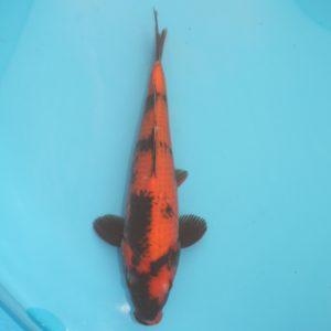 Carpe koi Hi Utsuri 36cm