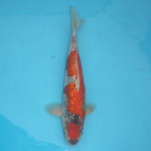 Carpe koi Goshiki Ginrin 39cm