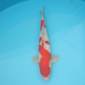Carpe koi Goshiki 40cm