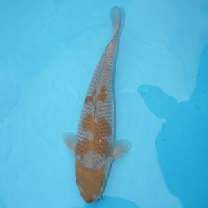 Carpe koi Ochiba 39 cm