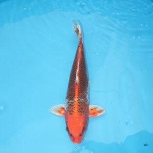 Carpe koi Kujaku 35 cm