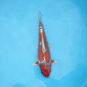 Carpe koi Kujaku doitsu 37 cm