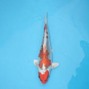 Carpe koi Beni Ginga 34 cm