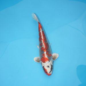 Carpe koi Beni Ginga 30 cm