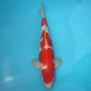 Carpe koi Kohaku 52cm Mâle