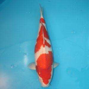 Carpe koi Kohaku 56cm Femelle