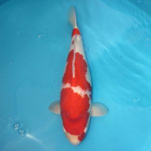 Carpe koi Kohaku 57cm Femelle