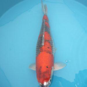 Carpe koi Goshiki 67cm