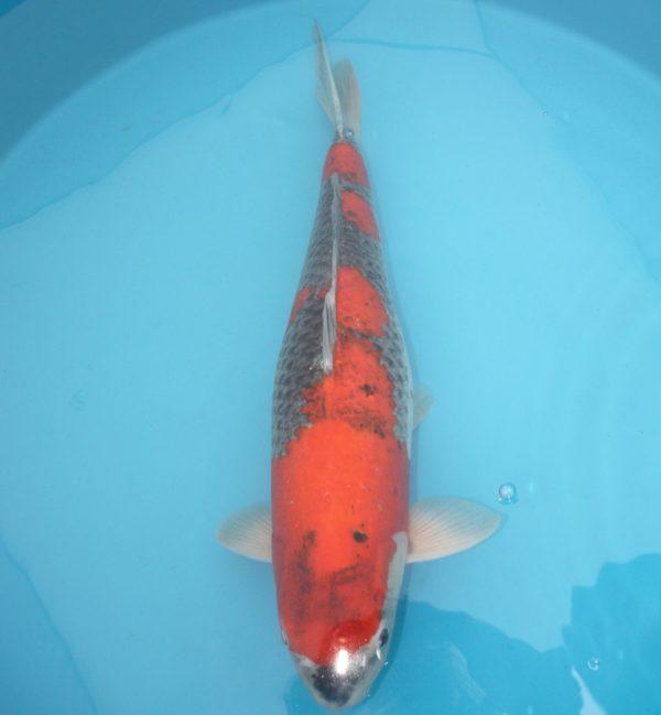 goshiki